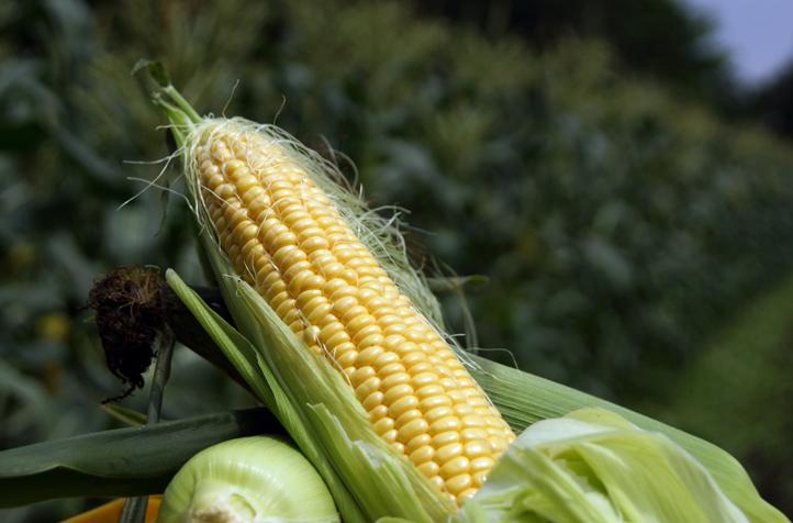 トウモロコシ収穫体験