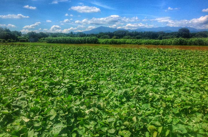 モナの丘芋畑