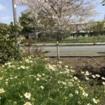 カモミールが咲き始めました。桜と一緒に見るのは初めて!?